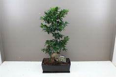 Banyan Fig Bonsai in Ceramic Planter - Ficus Ginseng