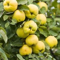 This is a guide about growing quince. If you live in an area that quince grows well then it is a great fruit to grow in your garden. Fruit Garden, Garden Trees, Edible Garden, Trees To Plant, Garden Plants, Quince Fruit Tree, Quince Jelly, Fruit Tree Nursery, Valley Nursery