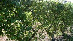P1130788 | by UBCgarden Espalier Fruit Trees, Explore, Plants, Plant, Planets, Exploring
