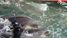 Baby Dolphin Is Taken From His Mom So He Can Live In A Tank