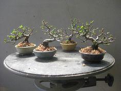 『盆栽:トキワサンザシ』