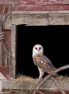 Barn Owl, Beautiful of Prey Owl Photos, Owl Pictures, Farm Animals, Animals And Pets, Cute Animals, Beautiful Owl, Animals Beautiful, Owl Bird, Pet Birds