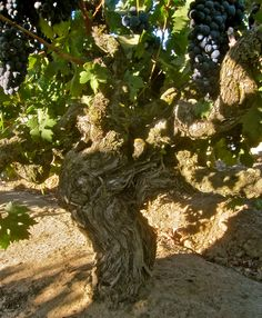 Old Zinfandel vine - gnarled, burly, somewhat unruly, head-trained vines that give intense, powerful grapes.