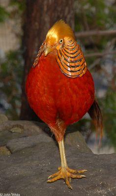 Chrysolophus pictus; Golden Pheasant