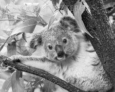 Original fine art photographic print of a baby koala in black and white- by award winning wildlife photographer Suzi Eszterhas. (No copyright