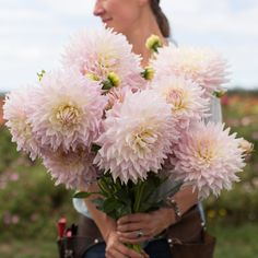 KA's Cloud - Description - This stunning new introduction from Santa Cruz Dahlias has fast become a favorite with all who visit our garden. The massive blush kissed, white blooms are produced in abundance all season long. Their long, strong stems make them ideal for cutting. A must have for wedding work!