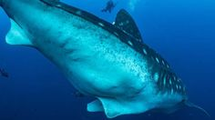 Looking glass into the secret lives of whale sharks   Read more: http://marinesciencetoday.com/2016/03/16/darwin-island-pregnant-whale-shark/#ixzz43EN9SP8c