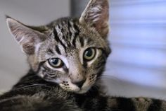 Valiente has been adopted from Seattle Humane http://www.seattlehumane.org/adoption/cats