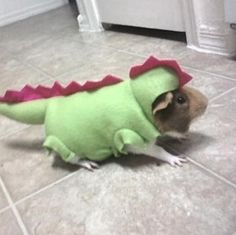 My Guinea Pig, Chompy dressed up in his dinosaur costume. Haha! He was so cute.  I miss you tons!   -R.I.P., Guinea Pig, Dino, Dinosaur, Costume, Rest In Peace, RIP