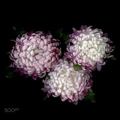 A GORGEOUS TRIO… CHRYSANTHEMUM - FOR YOUR W-E, beauty! Please OPEN!  As a bloom…