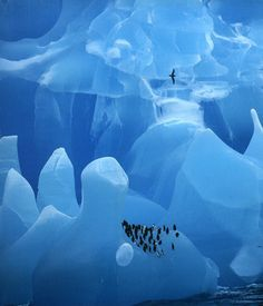 Chinstrap Penguins rest on a rare blue Iceberg while Antarctic Prion flies over. Antarctica  Bryan and Cherry Alexander, photographer