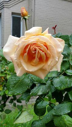 1000 images about rose garden on pinterest hybrid tea. Black Bedroom Furniture Sets. Home Design Ideas