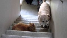 Charlie the dog is afraid to pass Fluffy the cat on the stairs. https://imgur.com/TWYIlSd
