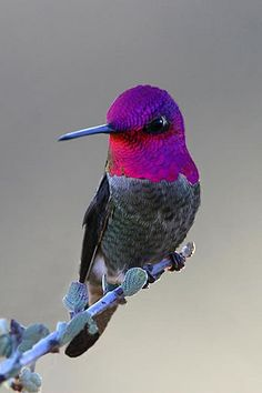 Anna's Hummingbird (Calypte anna) -- A medium-sized hummingbird native to the west coast of North America. This bird was named after Anna Masséna, Duchess of Rivol