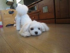 Maltese play with m #maltese play with me