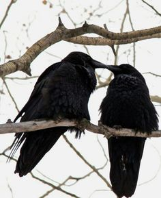 Image uploaded by Alrauna. Find images and videos about bird, raven and crow on We Heart It - the app to get lost in what you love. The Crow, Love Birds, Beautiful Birds, Animal Espiritual, Foto Fantasy, Blackbird Singing, Quoth The Raven, Raven Art, Pet Raven