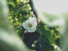 spring apple by Karo Solo  #spring #nature #photography #green #flowers