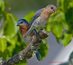 Eastern Bluebird Male And Female On Perch Together