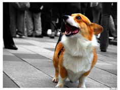 """""""Omg! I'm finally in the big city! It's so big! There's so many buildings! There are so many people! This place is amazing! I can't wait to see EVERYTHING!"""" #corgi"""