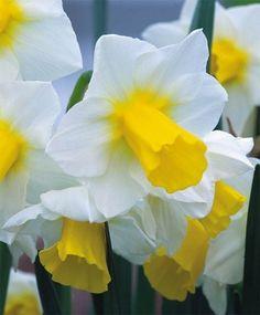 Narcissus Golden Echo - Jonquilla Narcissi - Narcissi - Flower Bulb Index