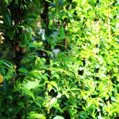 Vendita Online Piante da Siepe in vaso - Sale Online Hedge Plants in pot