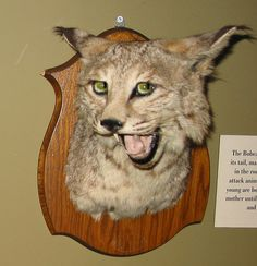 taxidermies loupees lynx   Taxidermies loupées   2   tigre taxidermie singe puma photo ours lynx image horreur fail empaille empaillage chat...