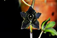 Most Beautiful Black Flowers with Pictures Black Calla Lily, Black Rose Flower, Black Tulips, Black Orchid, Black Flowers, Colorful Flowers, Tall Flowers, Indoor Flowers, Flowers For You