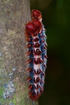 Morpho epistrophus argentina caterpillars