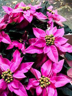 Poinsetias côr-de-rosas. Conhecidas como bico-de-papagaio, rabo-de-arara e papagaio (no Brasil), cardeal, flor-do-natal, ou estrela-do-natal é uma planta originária do México, onde é espontânea. O seu nome científico é Euphorbia pulcherrima,