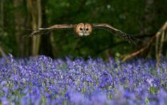 Tawny owl flying over the bluebells, BWC -2012