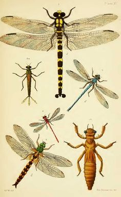 Dragonfly Illustration, Nature Illustration, Botanical Illustration, Foto Transfer, Insect Art, Bugs And Insects, Mundo Animal, Nature Prints, A Bug's Life