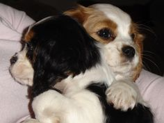 My own Cavalier King Charles spaniels Giulia and Giorgia