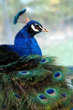raindropsonroses-65: orgulloso como un pavo real (por EssjayNZ)