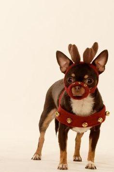 Reindeer Chihuahua