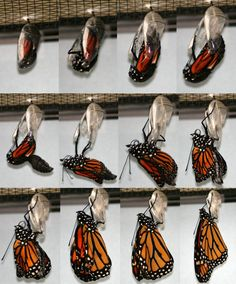 Monarch Butterfly by Megan McCarty118, wikipedia: A Monarch (Danaus plexippus) eclosing from a chrysalis. It took about 15 minutes for the Monarch's wings to fully expand.