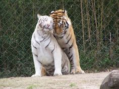 two beautiful tigers are in love