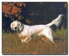 This beautiful art print poster creates natural feel to your room. This poster display the image of a English setter dog running towards something, and the beauty of this poster is the natural background, a ground full of golden grass which help to attract every eye towards this poster. English setter dogs are intensely friendly, sweet-tempered and good-natured! This poster ensures the quality and perfect color accuracy.