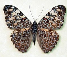 peru butterflies | guatemelena real blue paisley butterfly butterflies from Peru ...