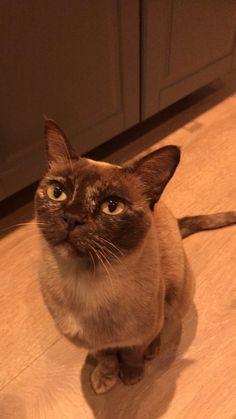 Burmese cat❤️Leah ❤️ Burmese, Gull, Beautiful Cats, Dog Cat, Kittens, Christmas, Animals, Gatos, Pretty Cats