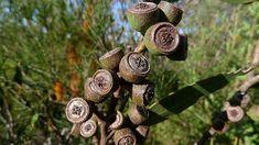 Κλωνάρι ευκάλυπτου Plantes Feng Shui, Energie Positive, Nutrition, Wind Chimes, Place Card Holders, Positivity, Eucalyptus, Voici, Anna