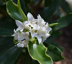 I wish the computer screen was scratch and sniff so you could smell this daphne...it's amazing.