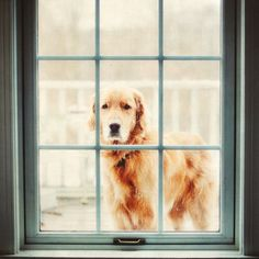 Here he is again........a golden that has decided he is going to live here with me...... Can you believe that look thru the window?