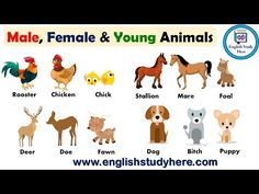 Names of Males, Females, Babies, and Groups of Animals, Gender of Animals - English Study Here Gender Of Animals, Baby Animal Names, Baby Animals, Female Pet Names, Male And Female Animals, Animals Name List, Animals Name In English, English Vocabulary, English Grammar