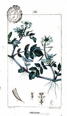 Painting of watercress plant. From Flore médicale, Volume 4, by François Pierre Chaumeton, Jean Louis Marie Poiret, and Jean Baptist Joseph Anne César Tyrbas de Chamberet. Published by Panckoucke, 1816 (on Google Books, original from the Complutense University of Madrid)