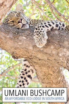 Going on safari at Umlani Bushcamp in Kruger, South Africa was one of the best travel experiences of our lives. Click through to read a detailed review of this affordable eco-lodge and all the wildlife we saw including this gorgeous leopard.