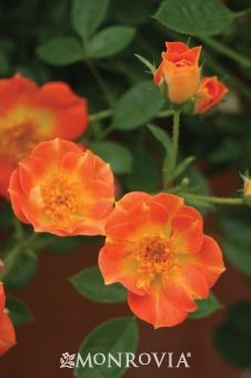 'Paprika' Oso Easy Rose - Neat, compact, low-maintenance rose provides orange blooms all summer and into the fall. Combine with purple flowers for a lush, vibrant effect or in drier locations, try combining with blue-ish grasses, junipers, or russian sage.