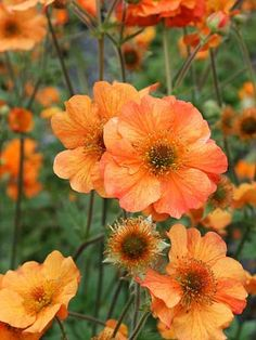 Geum Totally Tangerine Lift And Divide Large Clumps In Early Spring Or Late Autumn