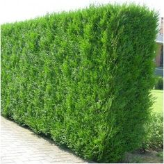 Inspired by the Great Outdoors, CraftedLandscapes (CL) are uniquley Combining Landscape Gardening with Architecture & Design. Fast Growing Conifer, Fast Growing Hedge, Fast Growing Evergreens, Hedging Plants, Pond Plants, Shrubs, Thuja Occidentalis Brabant, Cedar Hedge, Hedges Landscaping