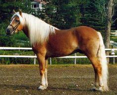 Image - Etalon haflinger - le poney haflinger - Skyrock.com