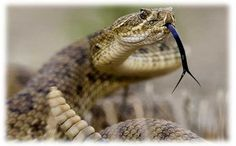 How to Identify Venomous Snakes . The news reports more snakes out this year. Good to know. Poisonous Snakes, Cool Snakes, Trip To Grand Canyon, Snake Venom, Gold Prospecting, Welcome To The Jungle, Reptiles And Amphibians, Animal Wallpaper, Outdoor Life